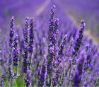 Dry Lavender Herb Seeds