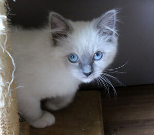 Ragdolls, vet checked and vaccinated