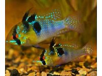 Blue Rams for sale - live tropical fish