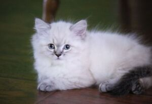 Persian kittens are ready for their new homes