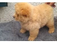 kc reg chow chow puppies reduced price