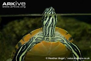 BEAUTIFUL BABY TURTLES ON SPECIAL
