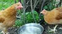 Free Buff Orphington Roosters