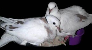 Looking for very young pigeon, hatchlings or pigeon eggs