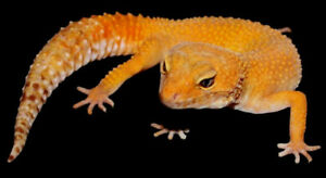 Gorgeous Leopard Geckos - Males, Females and Babies