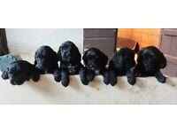 Cocapoo Pups (Black)