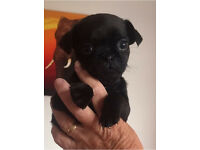 Three quarter pug puppies**only 3 left