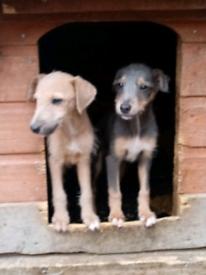 , 👀 ONLY 2 FEMALE PUP'S LEFT! 👀 Whippet x Bedlington terrier pup's,