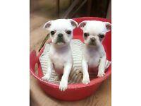 PUG PUPS FOR SALE WHITE, PANDA, CREAM, CHINCHILLA,GREY