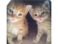Ginger female 8 weeks + kitten starter pack Free delivery