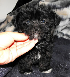 All black Maltese Toy Poodle Mix Puppies