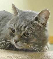 "Adult Male Cat - Domestic Short Hair: ""Grizou"""