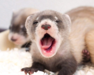Looking for a ferret!