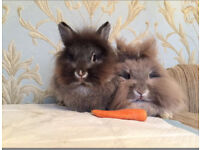 Two lion head rabbits with lovely hutch