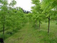 Black Walnut, Butternut, Bur Oak Edible Nut Trees