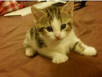 White X Bengal Kitten