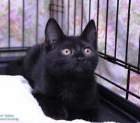 """Young Male Cat - Domestic Short Hair-black: """"Timothy"""""""