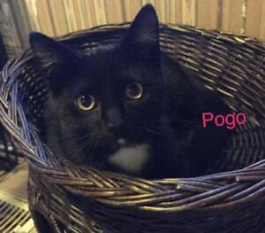 "Baby Male Cat - Domestic Short Hair: ""Pogo"""