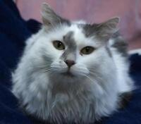 "Adult Female Cat: ""Gwendolyn"""