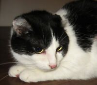 """Adult Female Cat - Domestic Short Hair-black and white: """"Friday"""""""