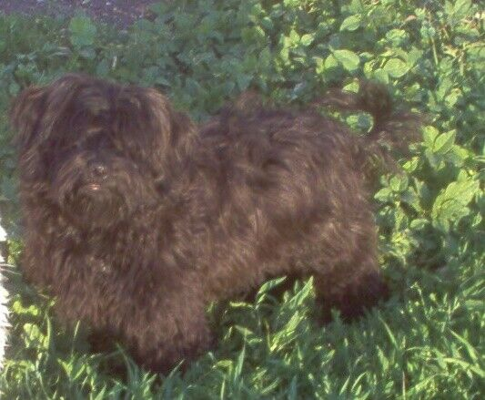 LOCAL CKC REGISTERED HAVANESE PUPPIES   Dogs & Puppies for
