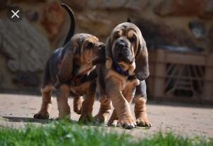 Bloodhound pup wanted