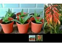 Aloe vera house plants