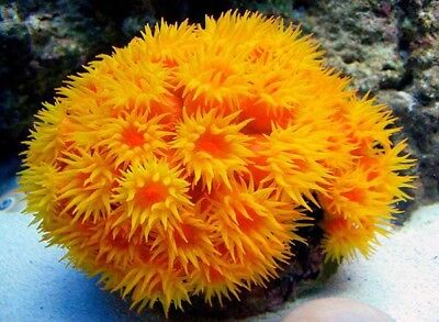 LIVE ORANGE CUP CORAL FRAG cheap shipping  marine saltwater aquarium fish coral