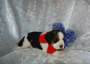 1 male 3/4 cavalier puppies
