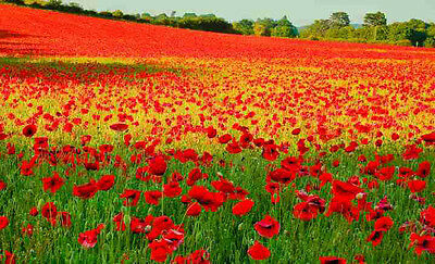 500 Red Corn Poppy Flower seeds Papaver rhoeas  Poppy seed CombSH - Red Cherry Blossom
