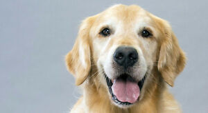 Looking to Adopt an Adult Golden Retriever