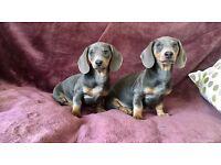 Blue and tan miniature dachshund puppies