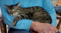 Missing Brown/grey tabby,