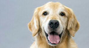 Wanted: Male golden retriever