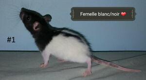 *Livraison 11 mai* Bébés rats femelles très affectueux à adopter