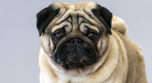 ISO a Pug to be Apart of the Family!