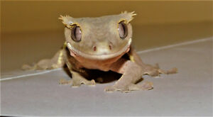 Crested Geckos from the local breeder