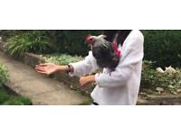 2 very friendly Roosters looking for a new home. Raised as a pets
