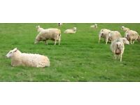 Milker Required - Sheep Dairy Farm, Dorset