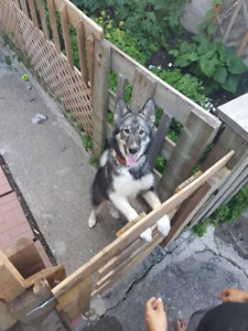 female husky lost in the area of longueuil