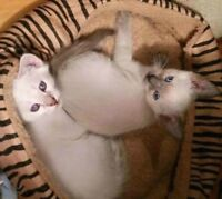 ❀⋰❀MAGNIFIQUES CHATONS SIAMOIS❀BEAUTIFUL SIAMESE KITTENS❀⋰❀