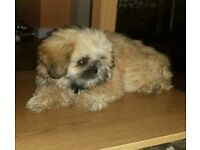 Female teacup shih tzu girl absolutely tiny and adorable 5 months old