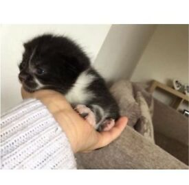 One Male Kitten for loving forever family!