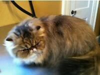 Persian cat - female needs new home