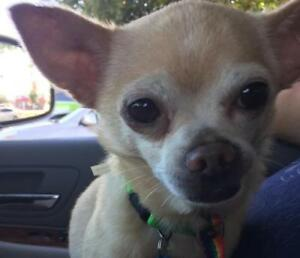 "Adult Male Dog - Chihuahua: ""Elmo"""
