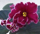 African Violet (Russian Variety) Saintpaulia Medium Houseplants