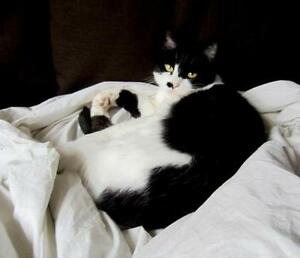 """Senior Female Cat - Domestic Short Hair: """"Tiggy"""" Downtown-West End Greater Vancouver Area image 3"""