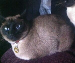 Lost female Siamese Cat