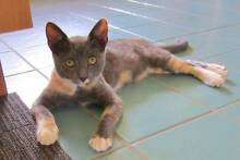 Savvy - Rescue Kitten Little Paws Kitten Rescue Assoc. Yeronga Brisbane South West Preview
