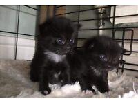 2 Gorgeous little kittens for sale